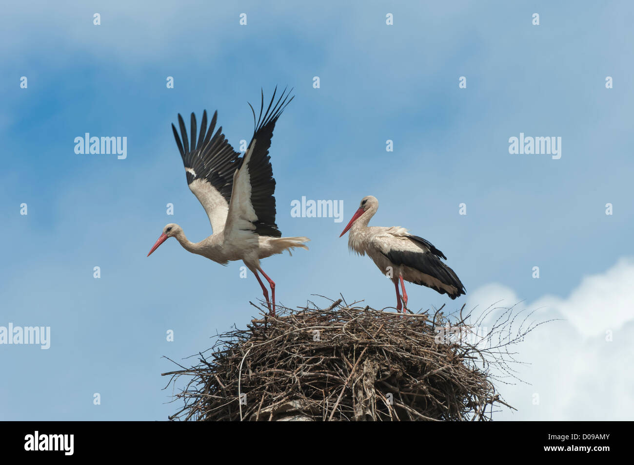 Couple of White storks (Ciconia ciconia) on the nest, one in flight, Izmir Province, Aegean region, Turkey Stock Photo