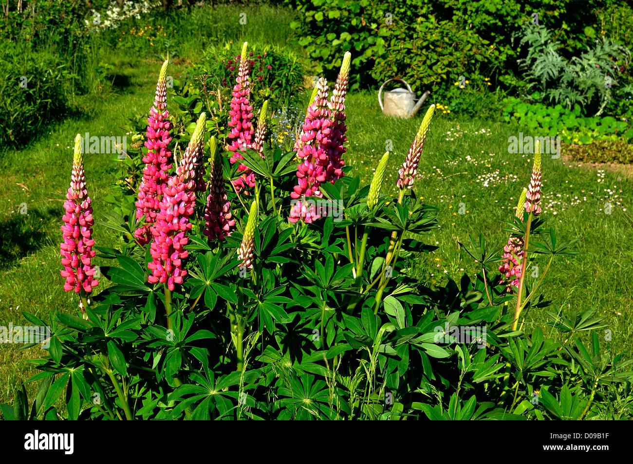 Fleur De Lupins Dans Une Allee Dun Jardin Potager Stock Photos