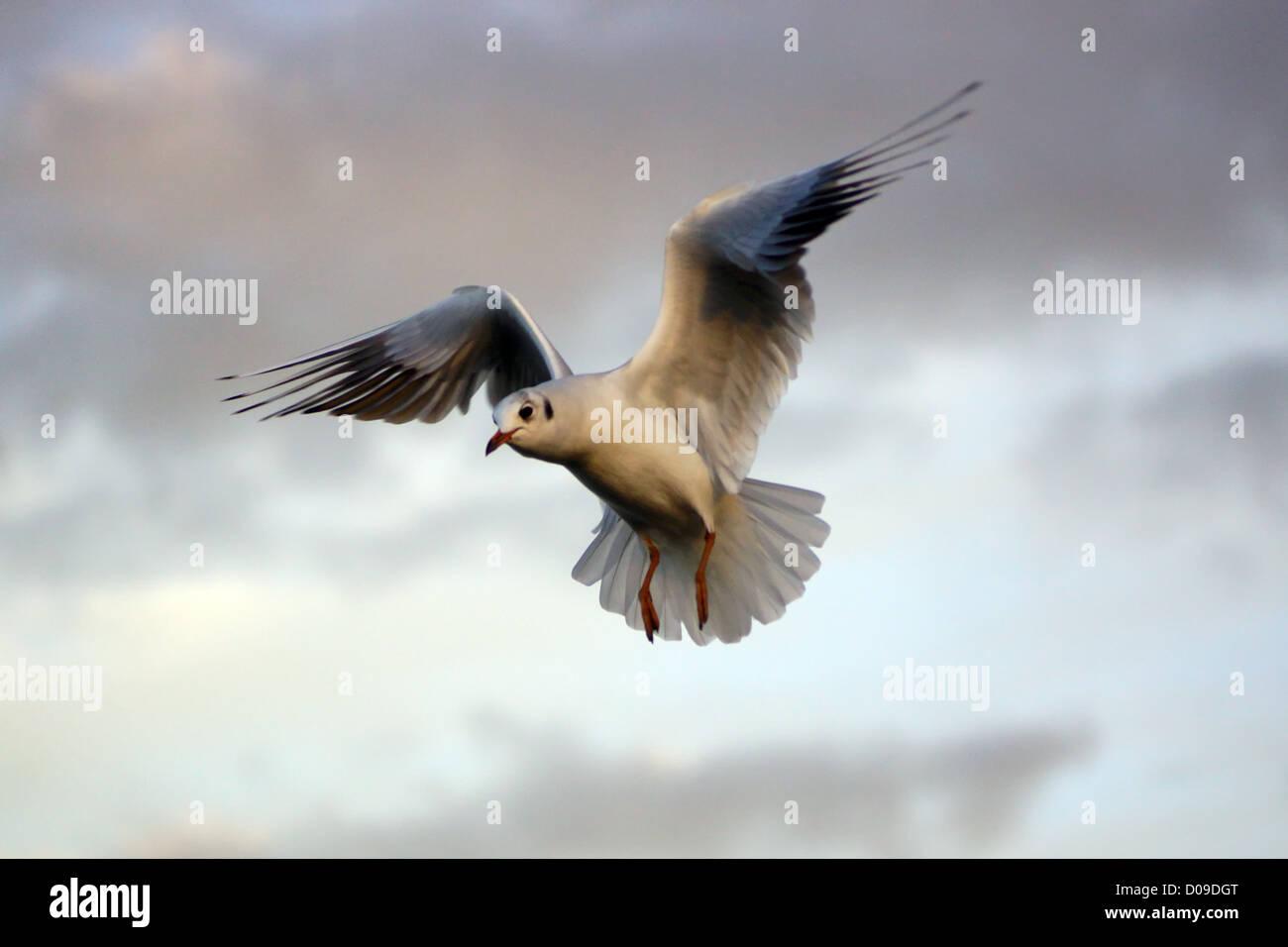Black-headed Gull - Stock Image