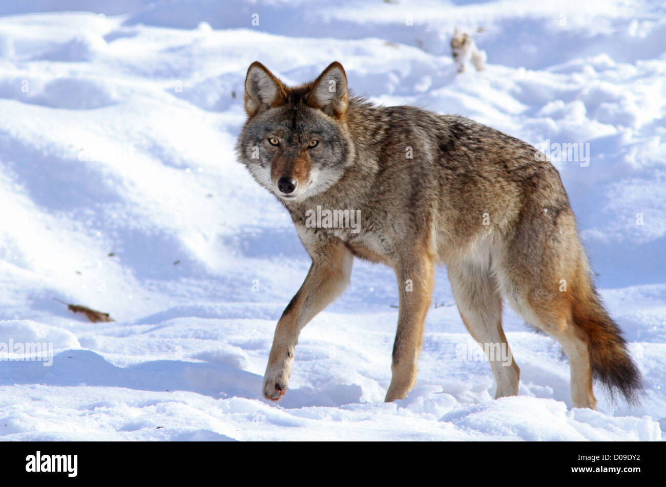 Big male coyote in winter. - Stock Image