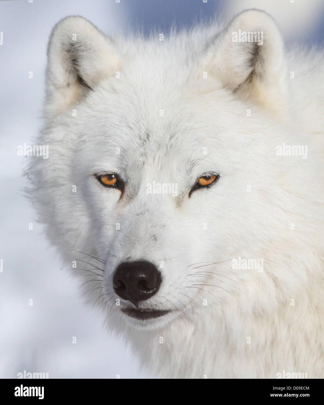 White Alpha male Arctic wolf portrait in winter. - Stock Image