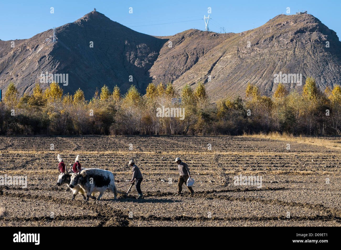 As farmer controls plow pulled by pair yaks, partner sows seeds, near Lhasa, Tibet, China - Stock Image