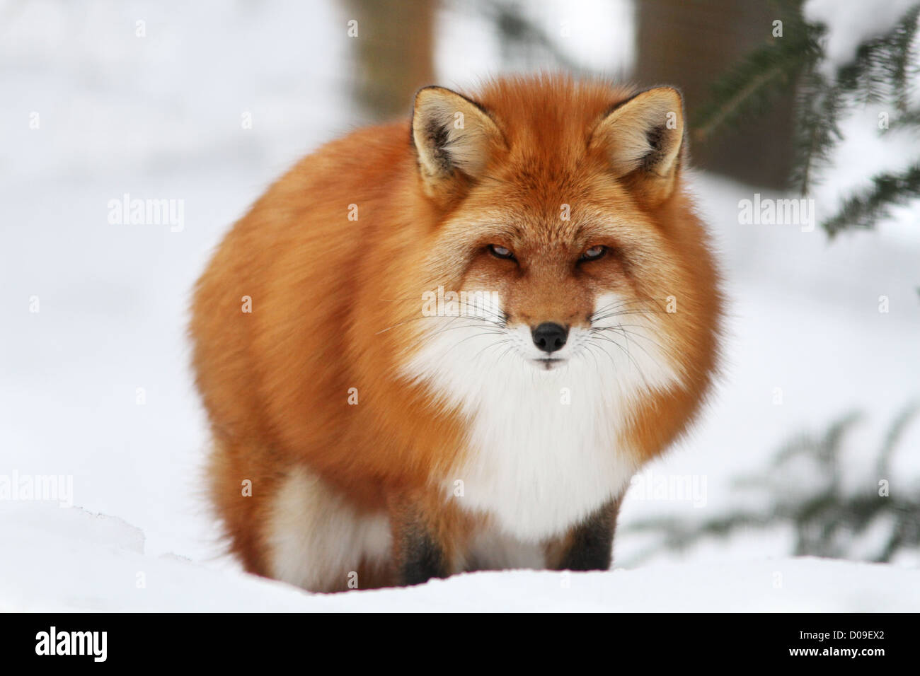Superb male red fox in Canadian winter - Stock Image