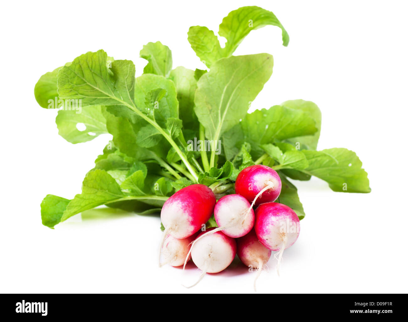 A bunch of fresh garden radishes over white background Stock Photo