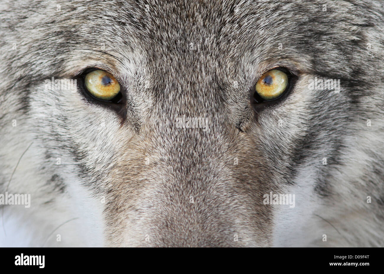 A close-up photo of a menacing wolf with a yellow eyes. - Stock Image