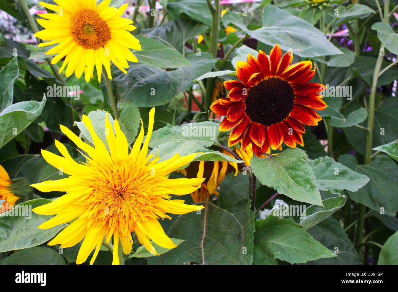 Yellow fresh sun flower plants - Stock Image