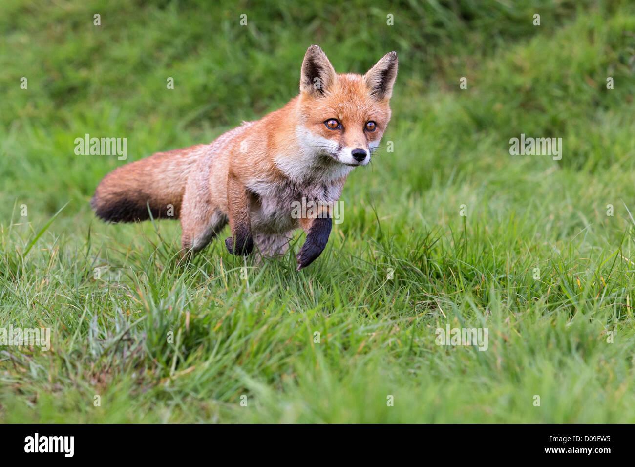 Fox running across a grassy field - Stock Image