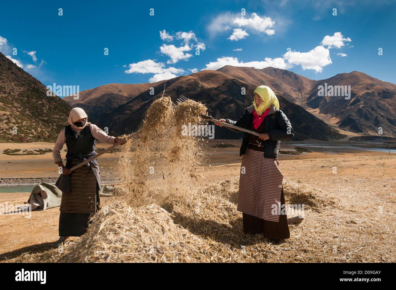 Women thresh grain by hand after Fall harvest, near Lhasa, Tibet - Stock Image