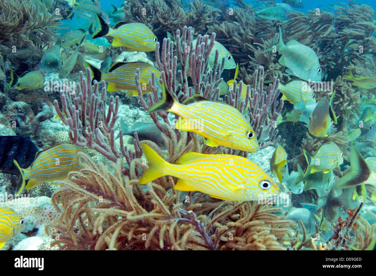 Underwater photo of brightly colored fish and corals on molasses reef in Key Largo, Florida Stock Photo