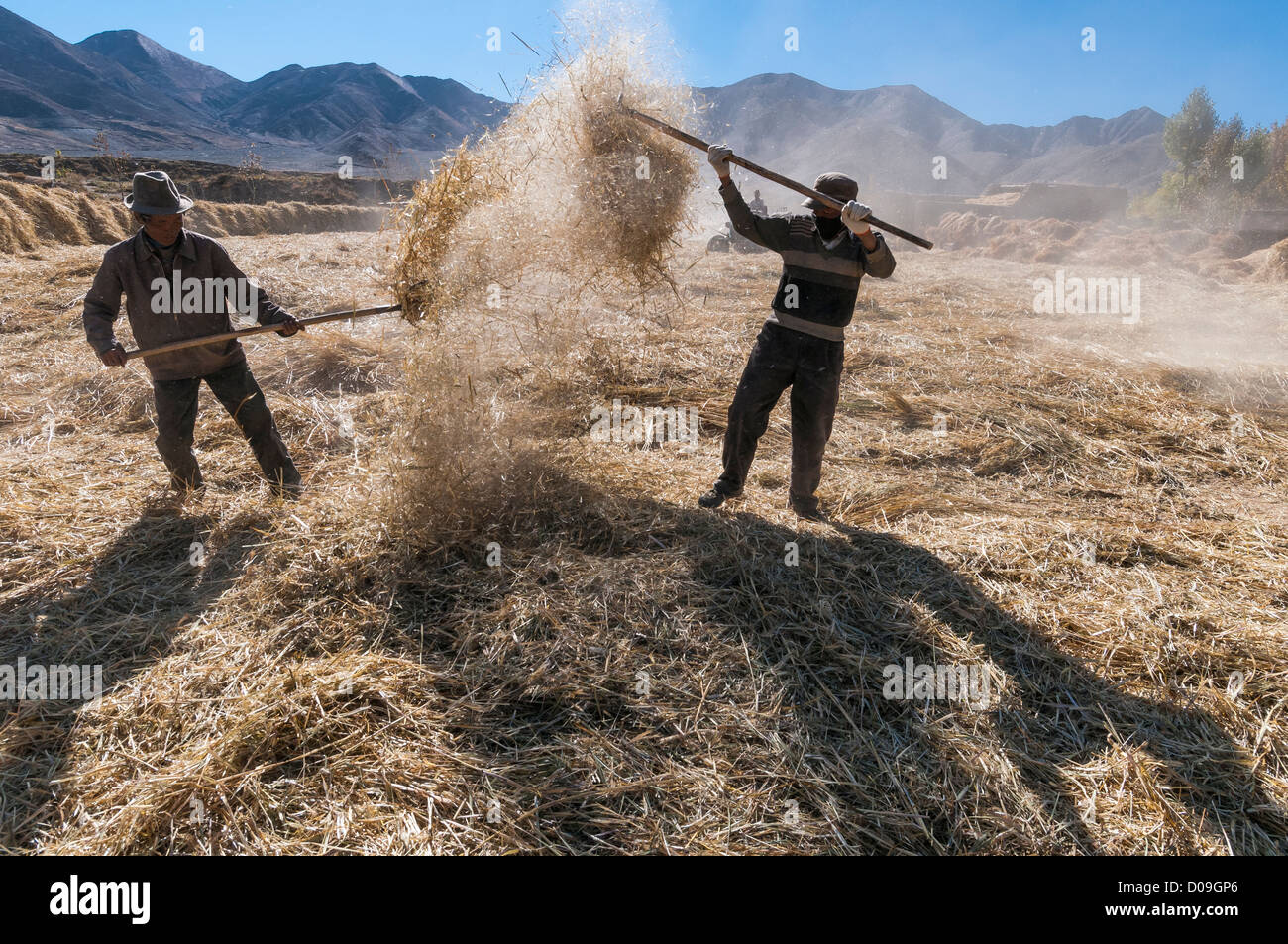 On outskirts of Lhasa, men thresh grain after Fall harvest, Tibet, China - Stock Image