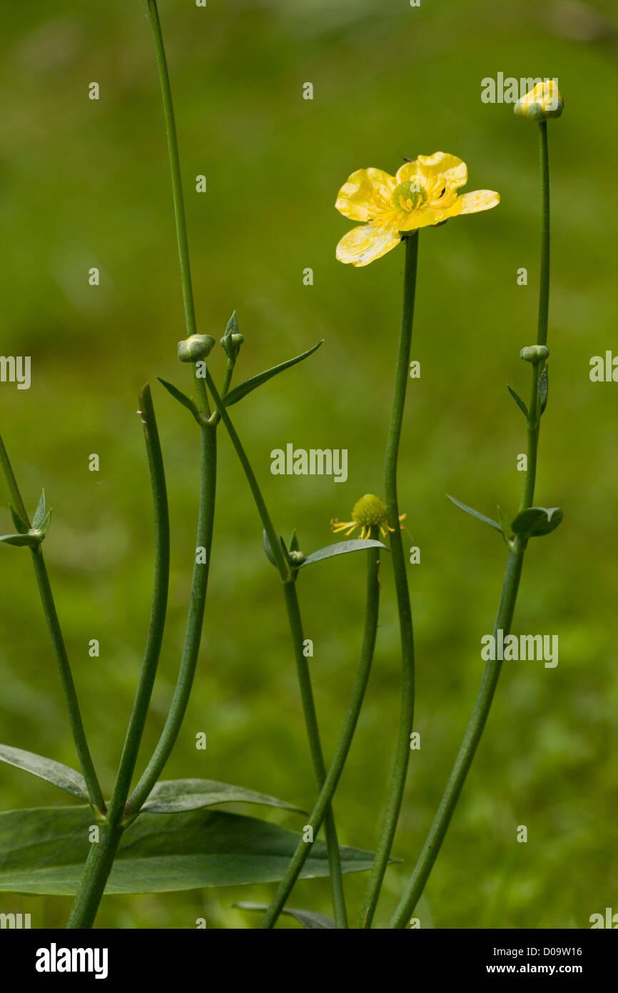 Greater Spearwort (Ranunculus lingua) growing in pond, close-up, Dorset, England, UK - Stock Image