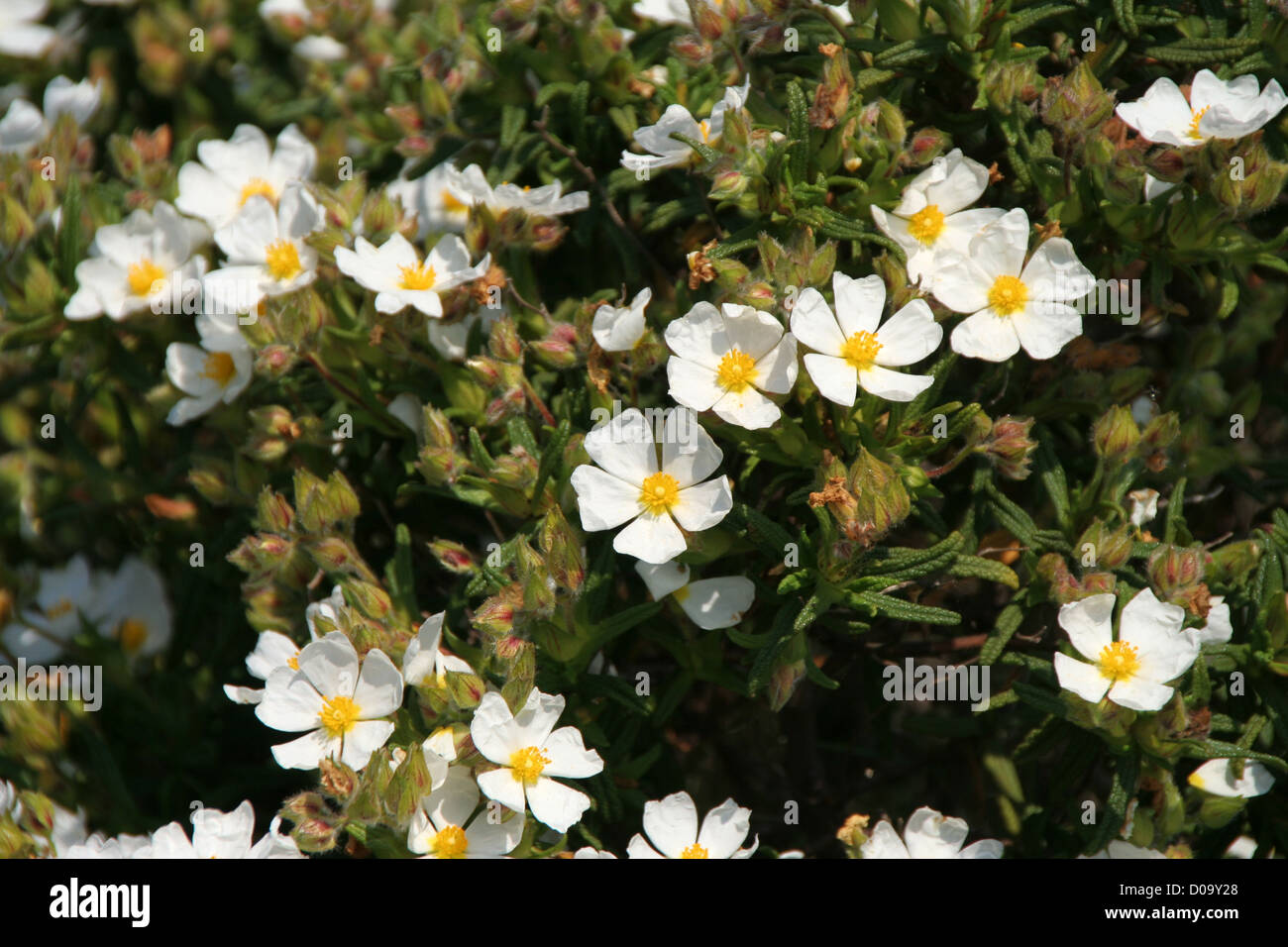 White Rock Rose Flowers Stock Photo 51849904 Alamy