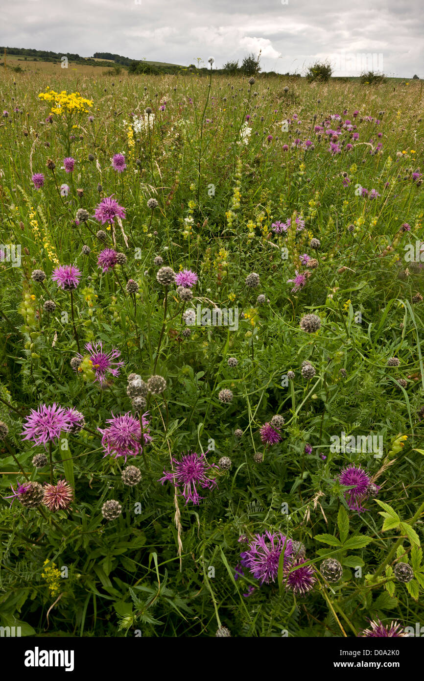 Chalk downland with Greater Knapweed, Dropwort and other flowers, Martin Down Nature Reserve, Hampshire, England - Stock Image