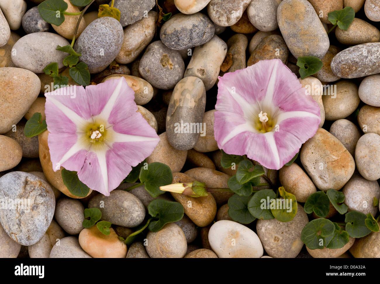 Sea bindweed (Calystegia soldanella) in flower on shingle beach, Weymouth, Dorset, UK - Stock Image