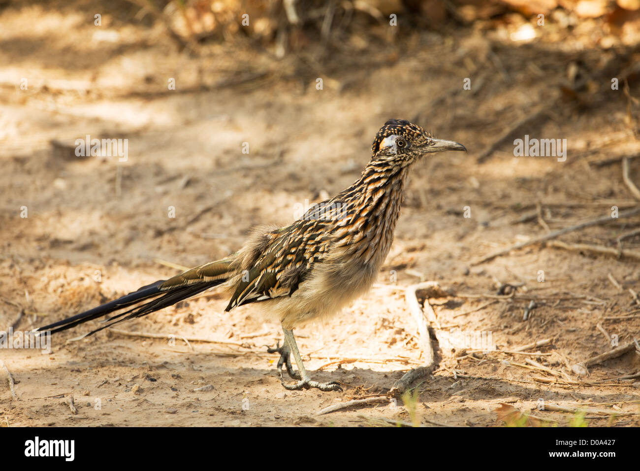 A roadrunner(chapparel) in Big Bend national park,TX - Stock Image