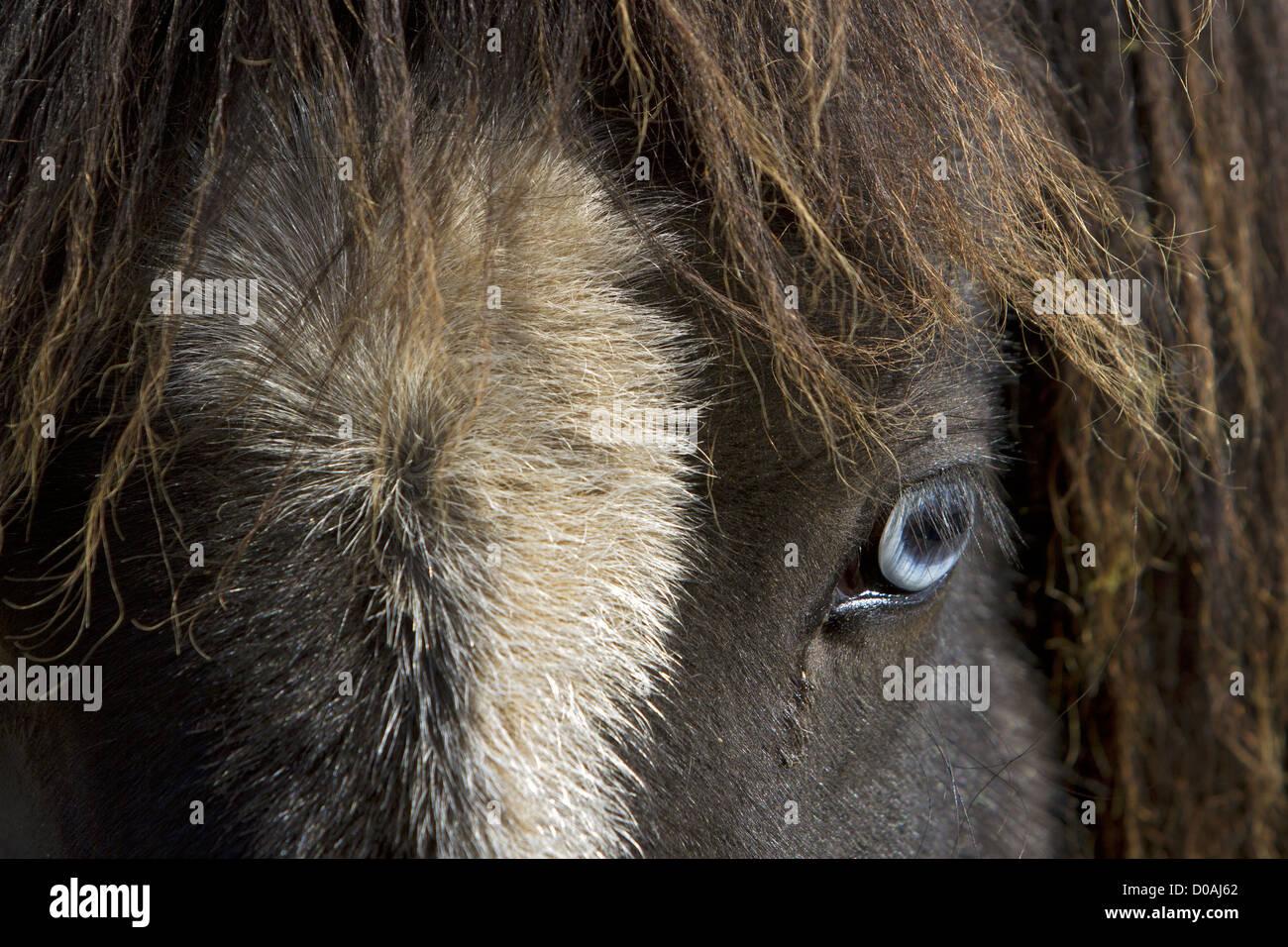 THE BLUE GAZE OF AN ICELANDIC HORSE SKRAPATUNGURETT NORTHERN ICELAND EUROPE - Stock Image