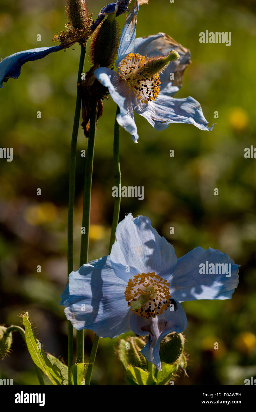 A Himalayan Poppy (Meconopsis betonicifolia) in cultivation, close-up - Stock Image