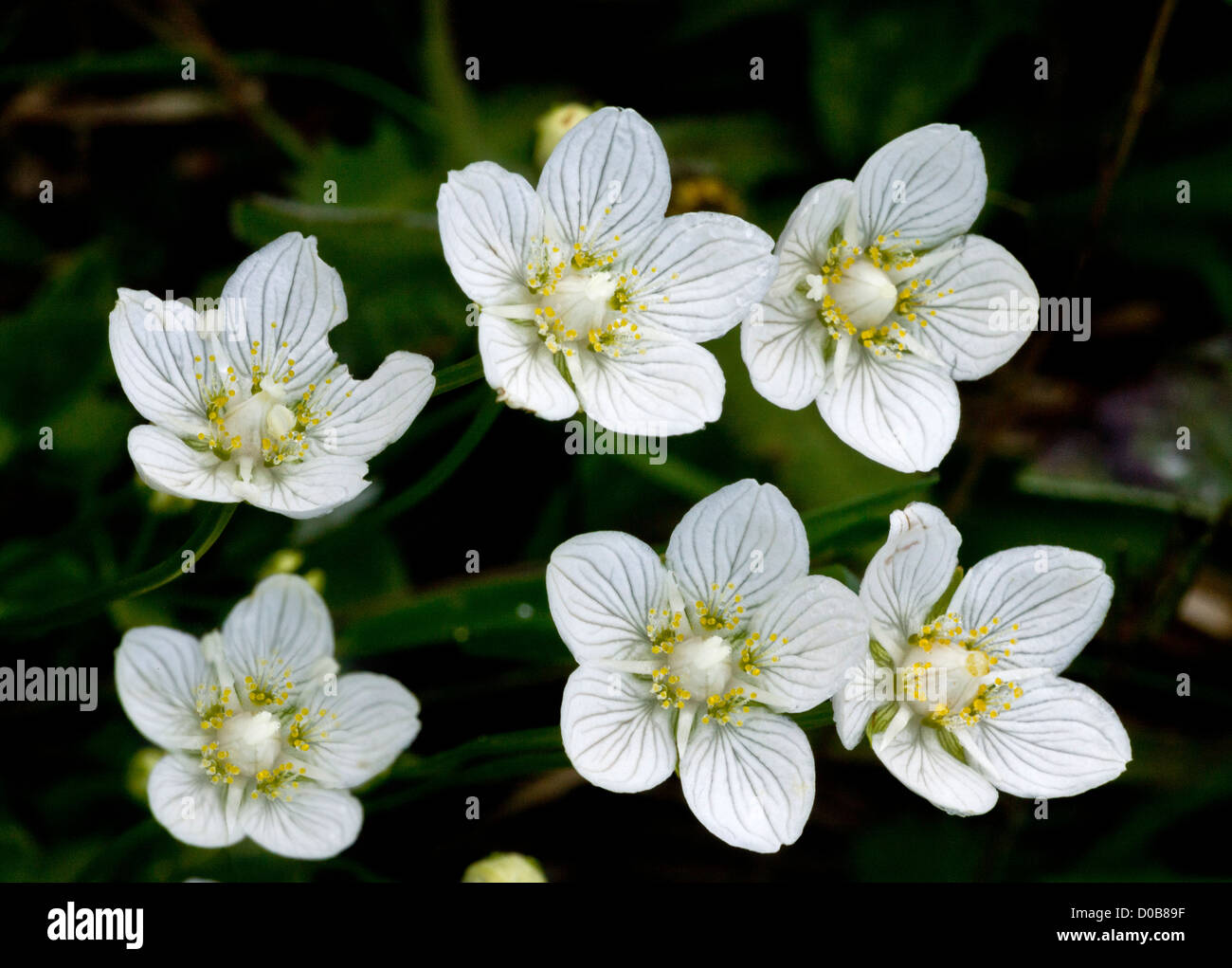 Grass of Parnassus (Parnassia palustris) in flower, close-up, late summer. - Stock Image