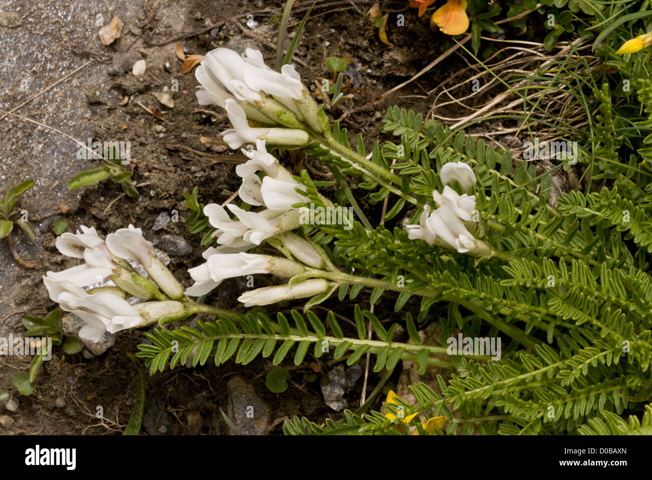 Sprawling Milk Vetch (Astragalus depressus) in flower, French Alps - Stock Image