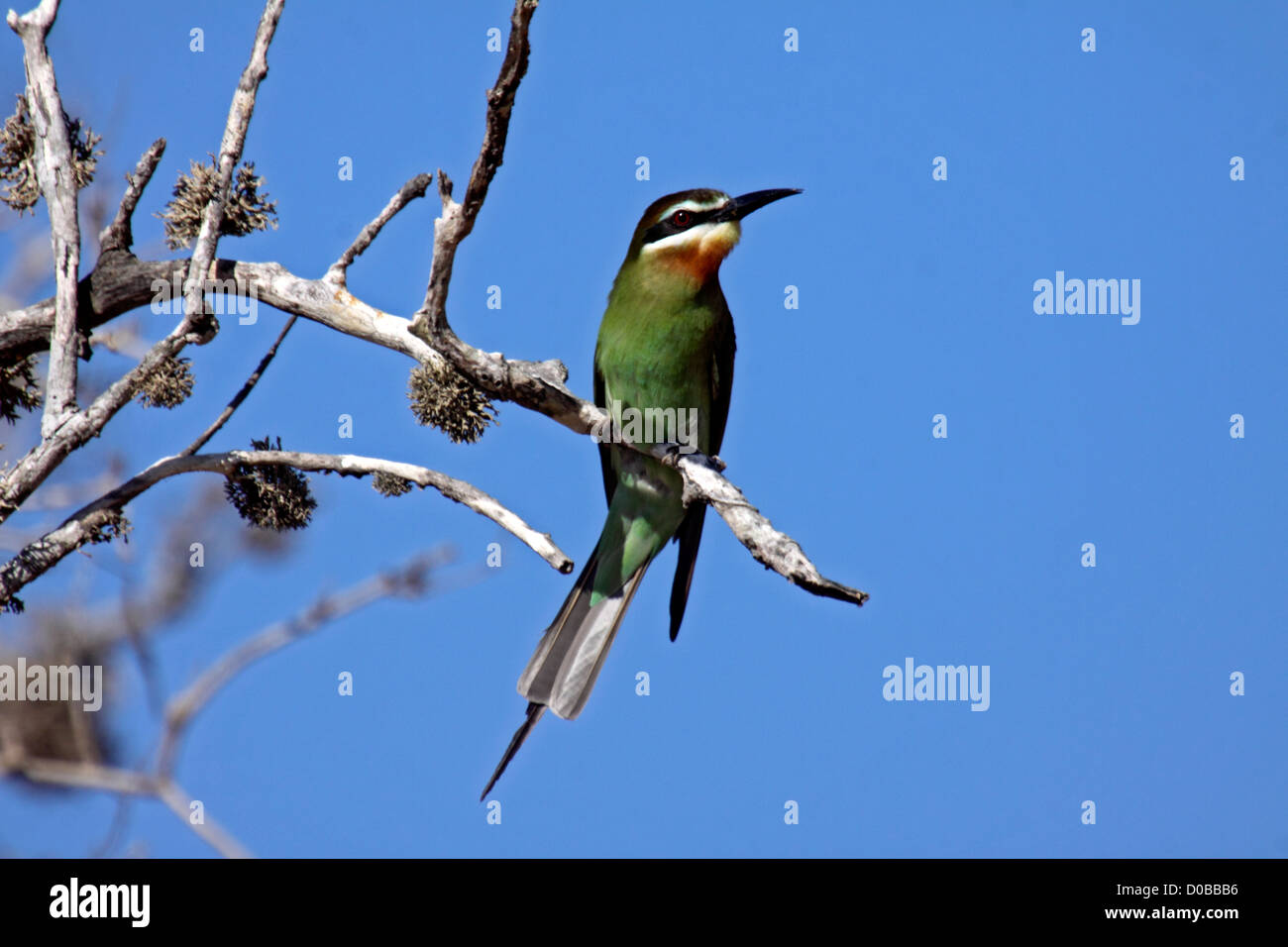 Madagascar bee eater in a tree in Madagascar - Stock Image