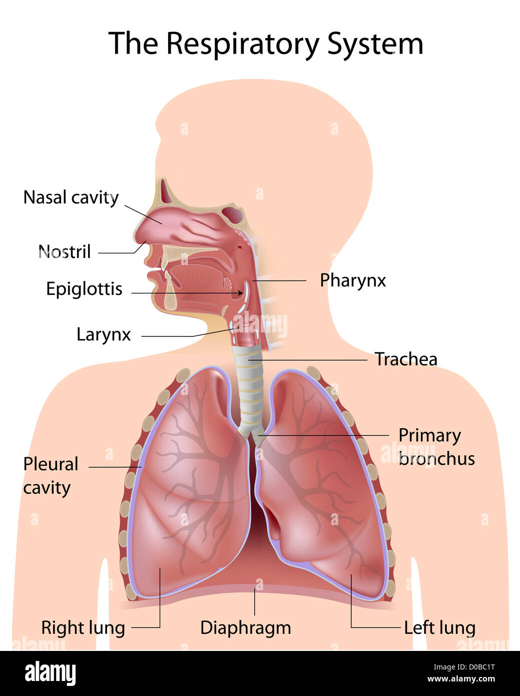 The respiratory system, labeled Stock Photo