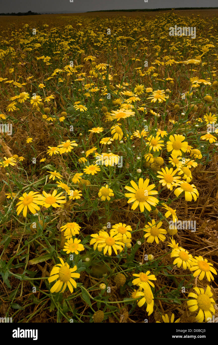 Masses of Corn Marigold, Chrysanthemum segetum as a weed in wheat field (cornfield). Stock Photo