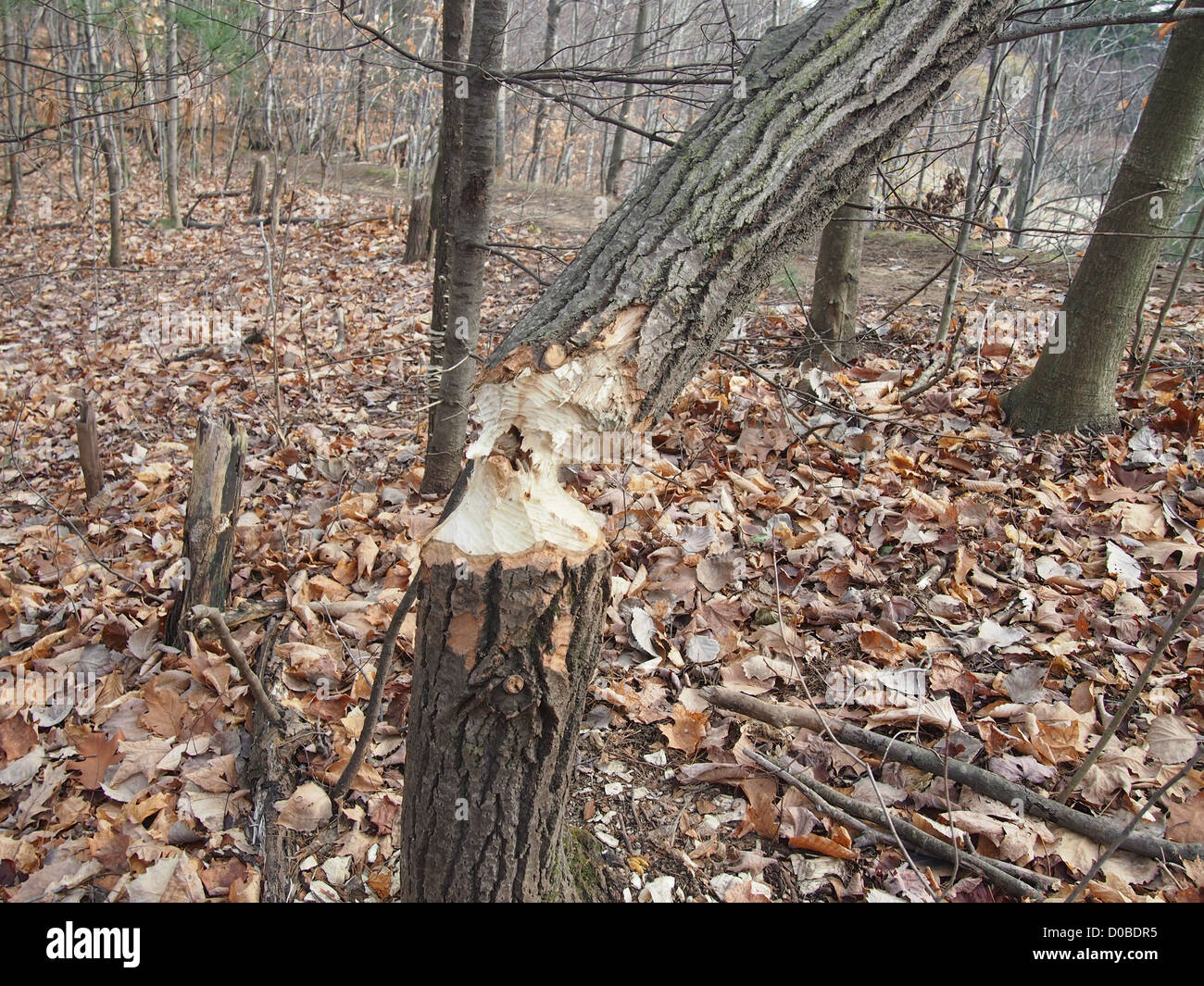 Tree felled by North American Beaver - Stock Image