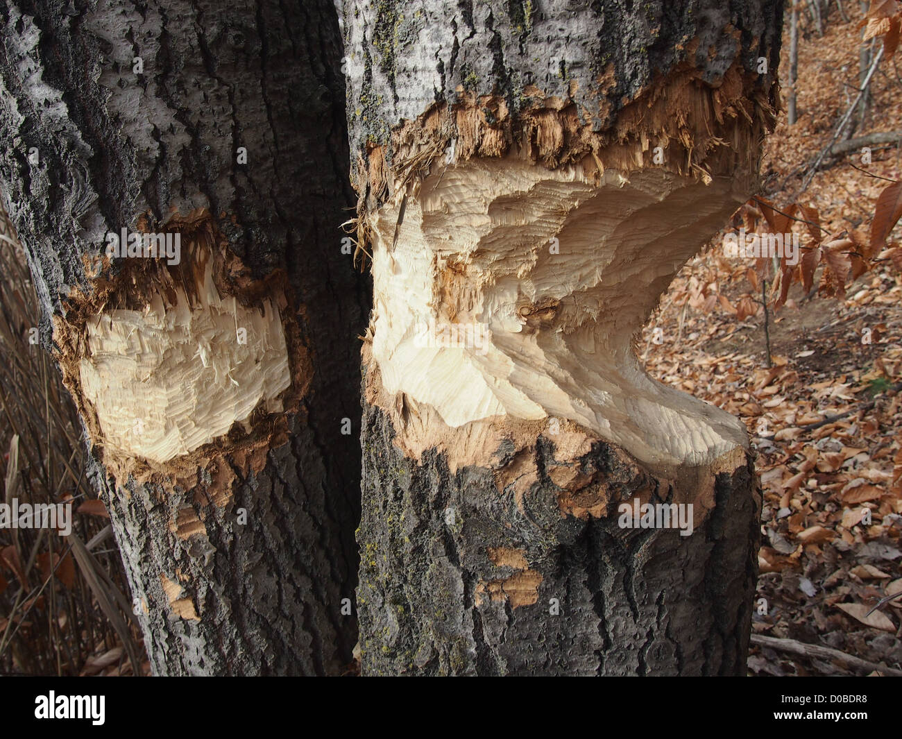 trees in the woods chewed by North American beaver - Stock Image