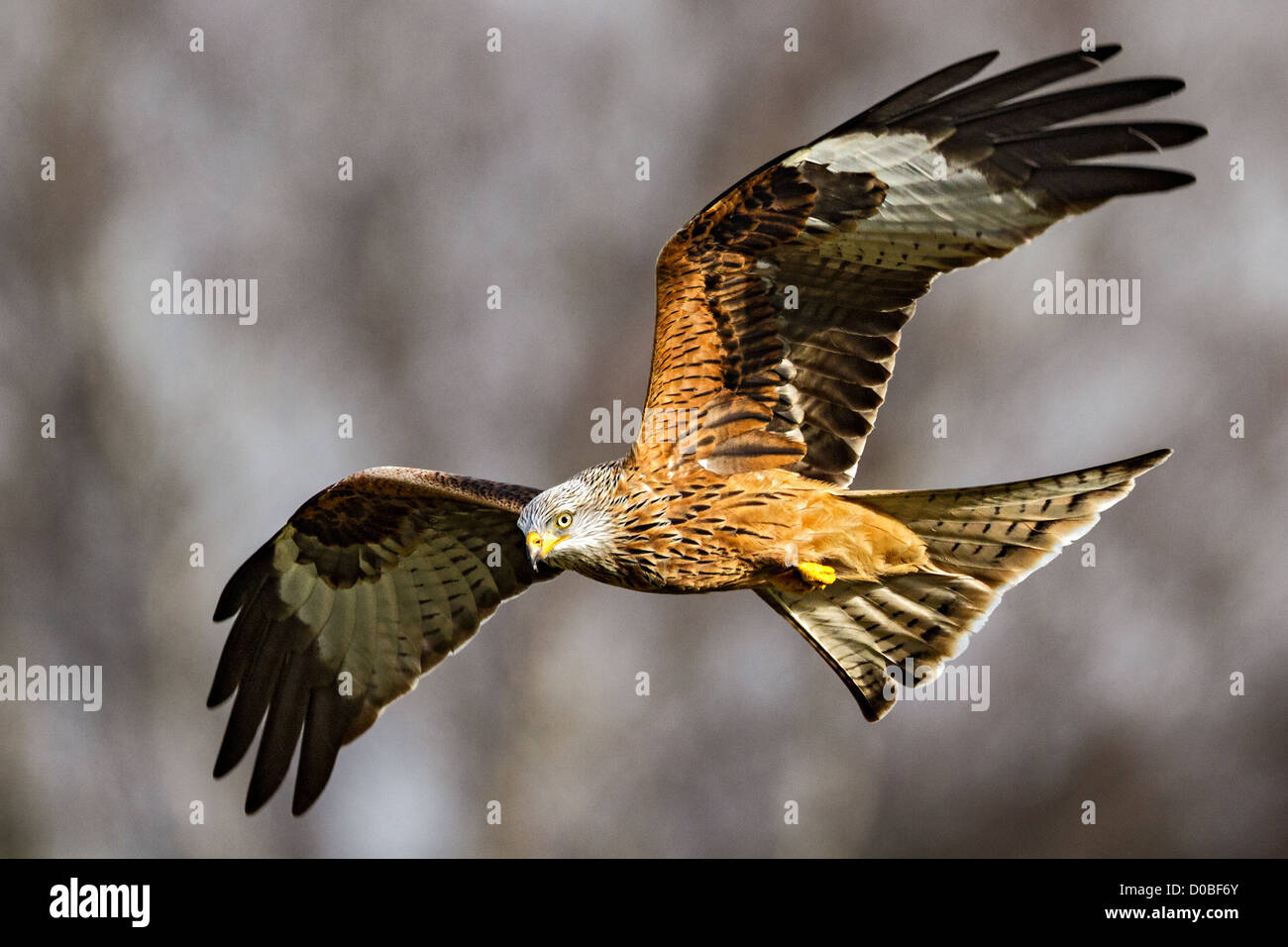 Red kite (milvus milvus) flying in stormy sky - Stock Image