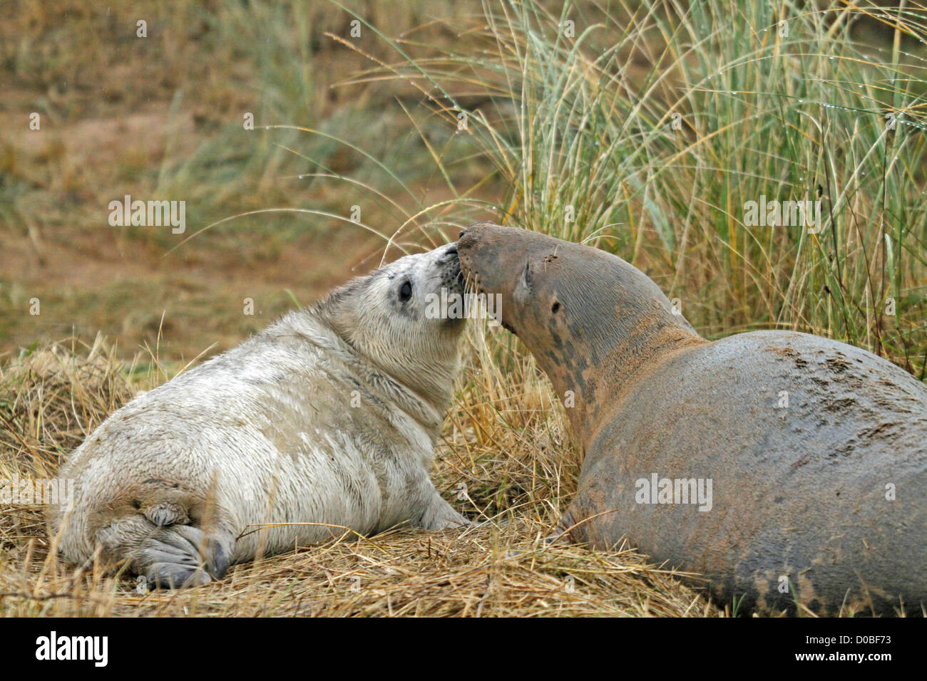 grey seal pup with mother (Halichoerus grypos) Stock Photo
