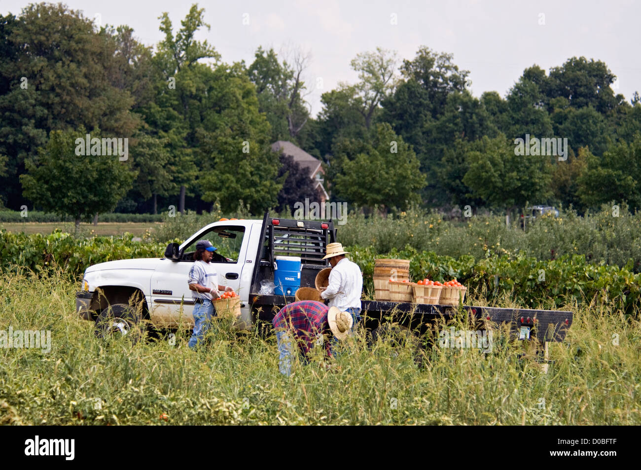 Workers Harvesting Tomatoes on Farm in Starlight, Indiana - Stock Image