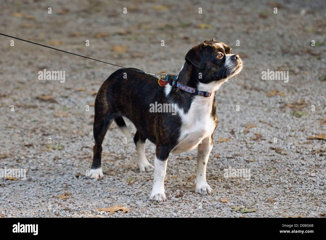 Boston Terrier Beagle Mixed Breed Dog on Adjustable Leash - Stock Image