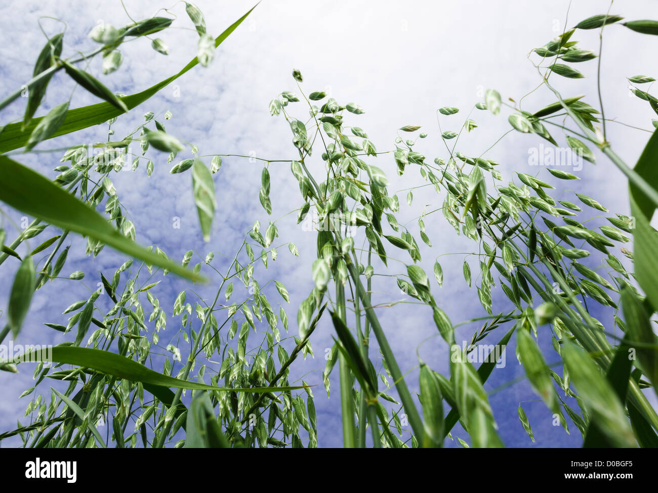 Cereal crop. Low angle photo of oats growing in a field. - Stock Image