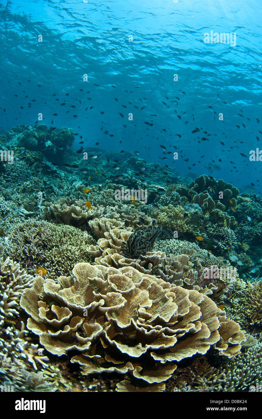 The beautiful coral reef of Menjangan island in the North West of Bali, Indonesia - Stock Image