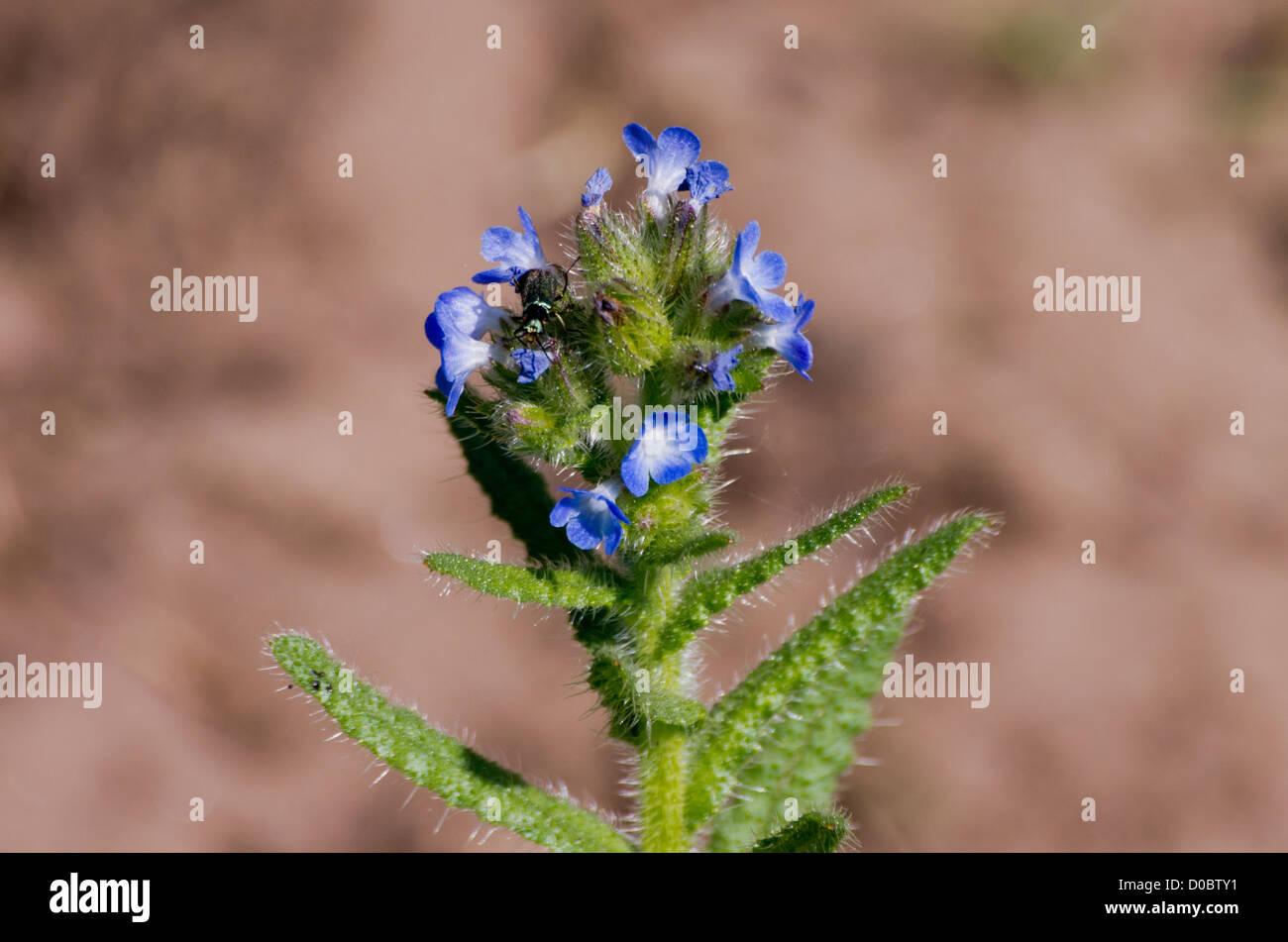 Bugloss Lycopsis arvensis - Stock Image