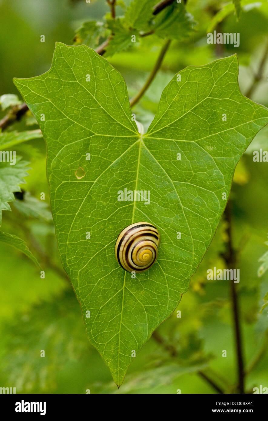 white-lipped snail (Cepaea hortensis) settled on leaf Stock Photo