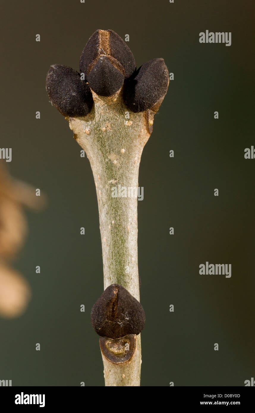 Ash (Fraxinus excelsior) twig with winter buds, close-up - Stock Image
