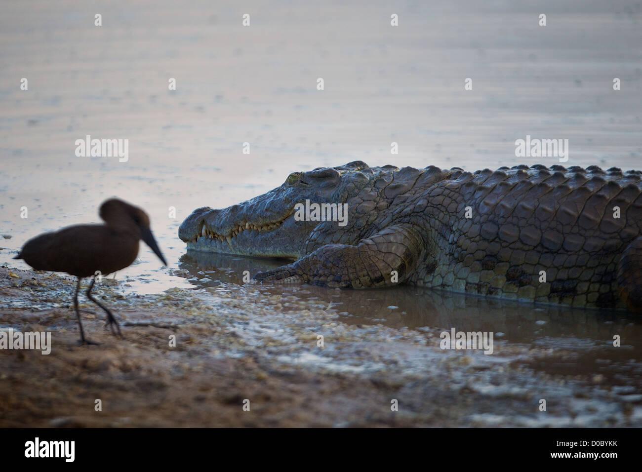 Nile crocodile Mikumi National park. Southern Tanzania. Africa - Stock Image