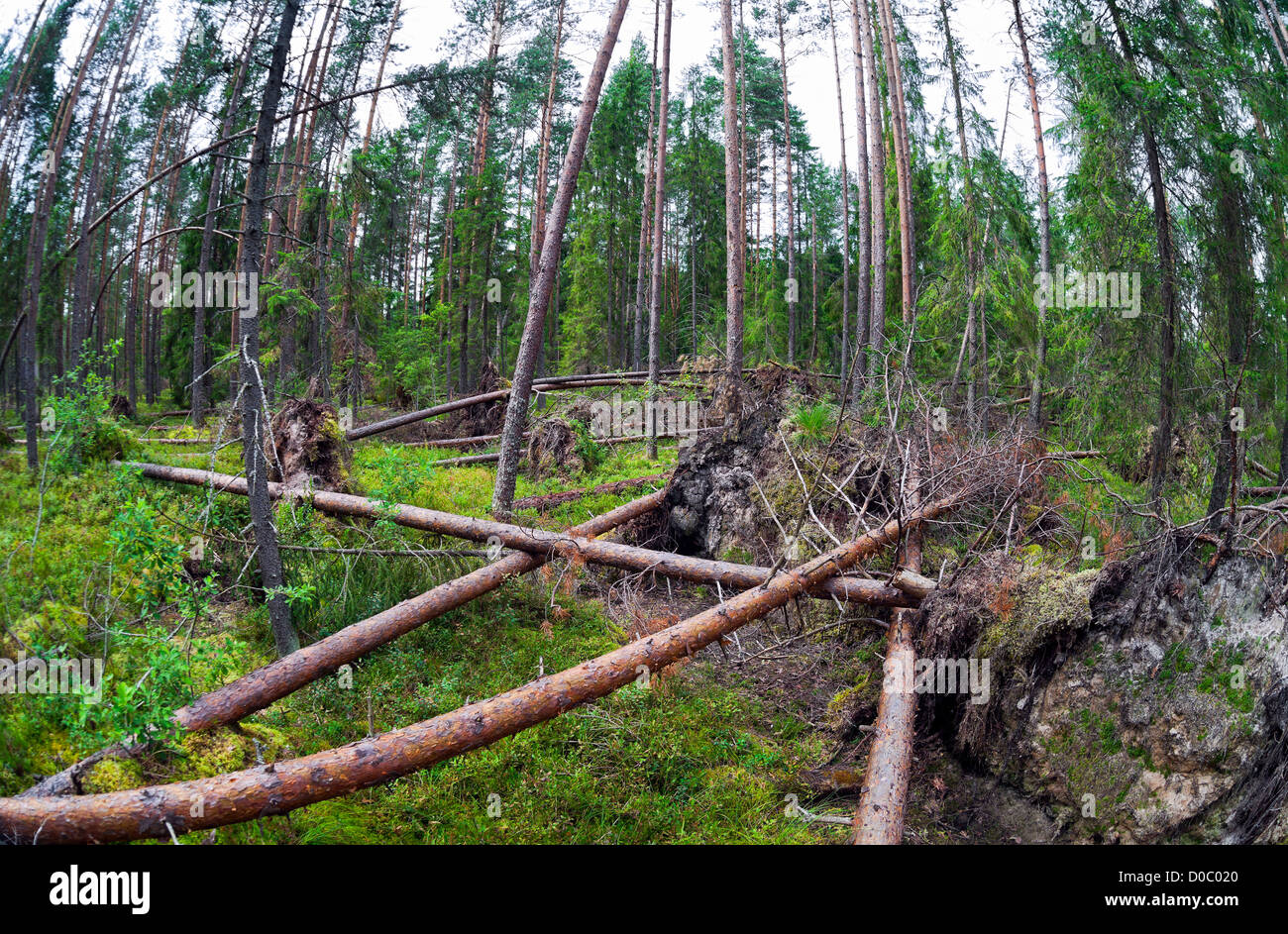 Fallen trees in the forest - Stock Image