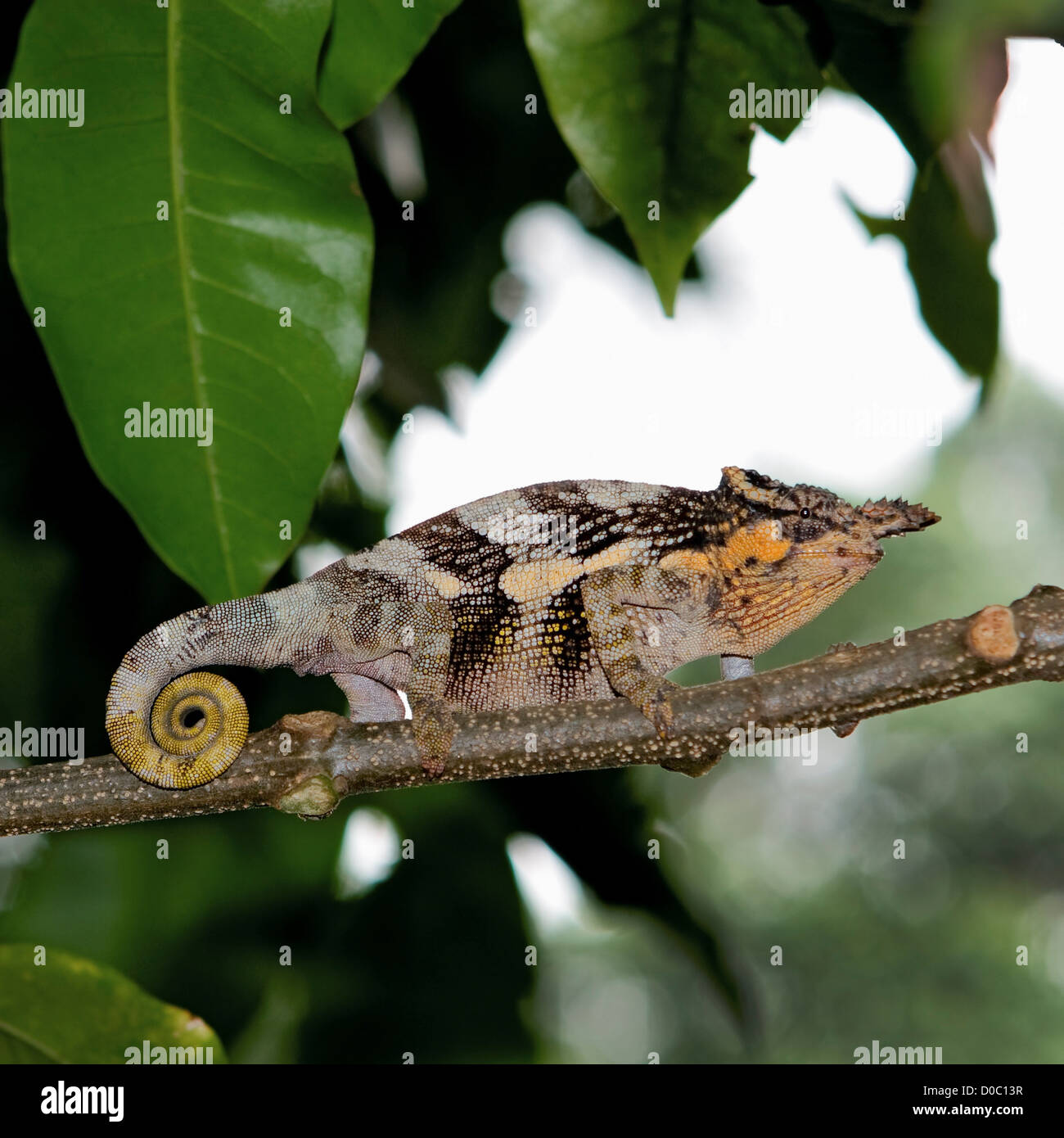 Fischers chameleon stock photos fischers chameleon stock images two horned chameleon on a branch stock image thecheapjerseys Images