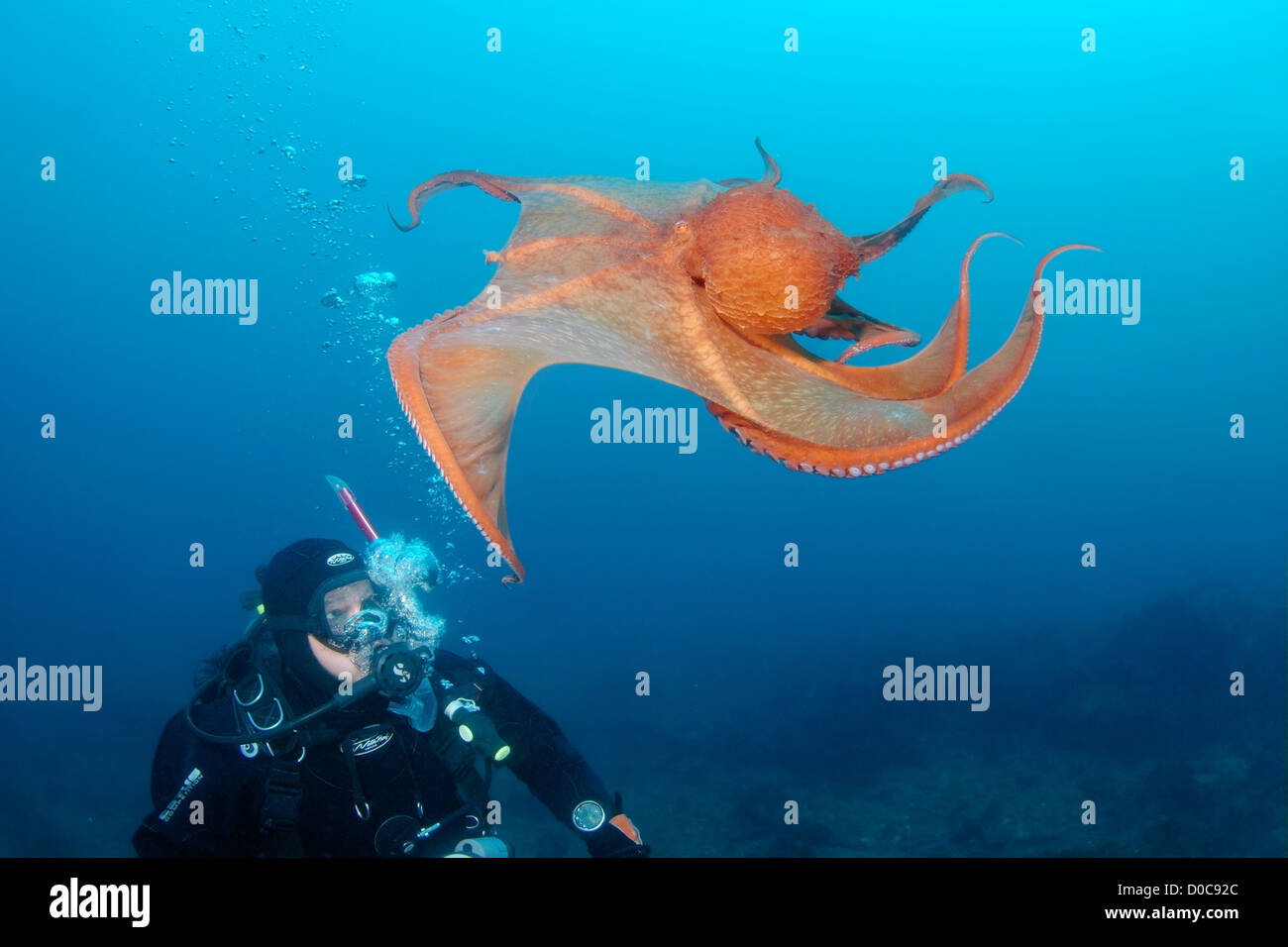 Diver & Giant Pacific octopus or North Pacific Giant octopus (Enteroctopus dofleini), Japan Sea, Far East, Primorsky - Stock Image