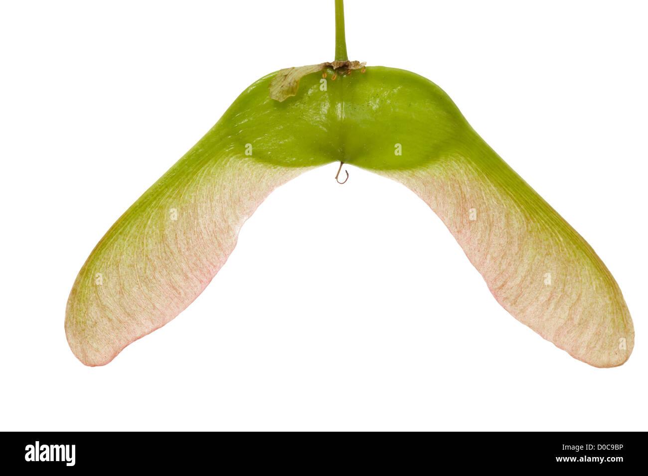 big seed maple made macro on white background - Stock Image
