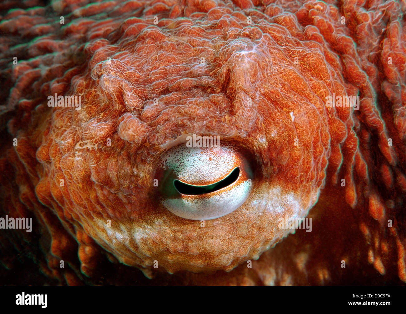 Giant Pacific octopus or North Pacific Giant octopus (Enteroctopus dofleini), Japan Sea, Far East, Primorsky Krai, - Stock Image
