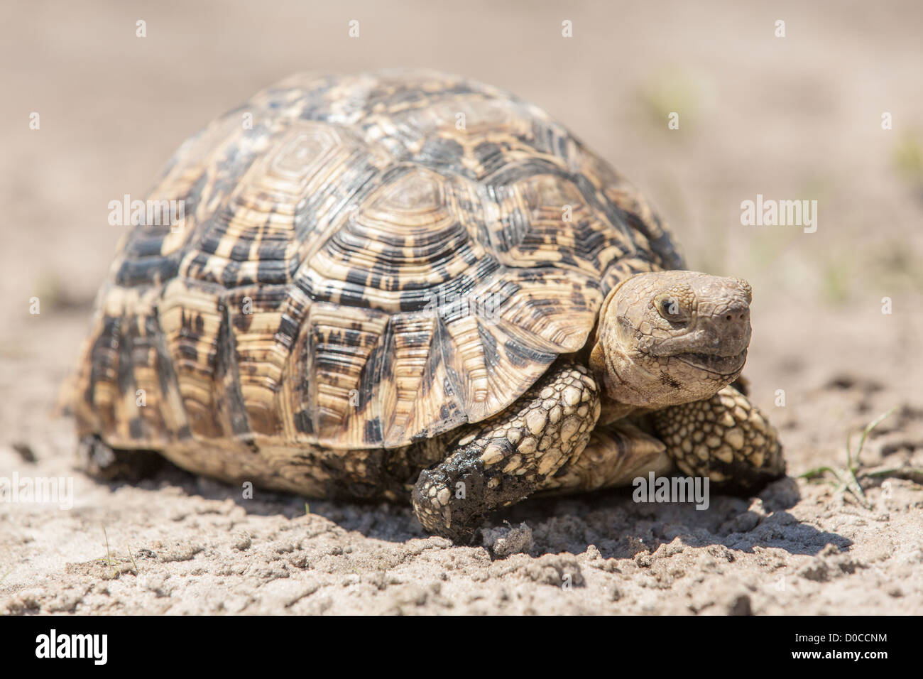 Leopard tortoise (Geochelone pardalis) in the Mamili National Park, Namibia. - Stock Image