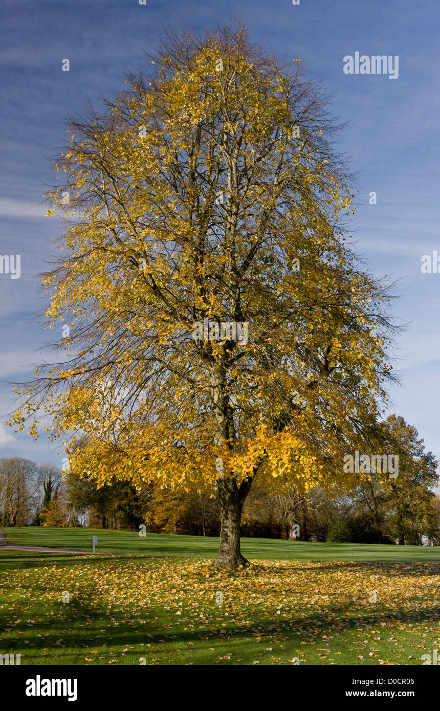 Large-leaved lime (Tilia platyphyllos) planted tree in autumn colours, Bryanston, Dorset, England, UK Stock Photo