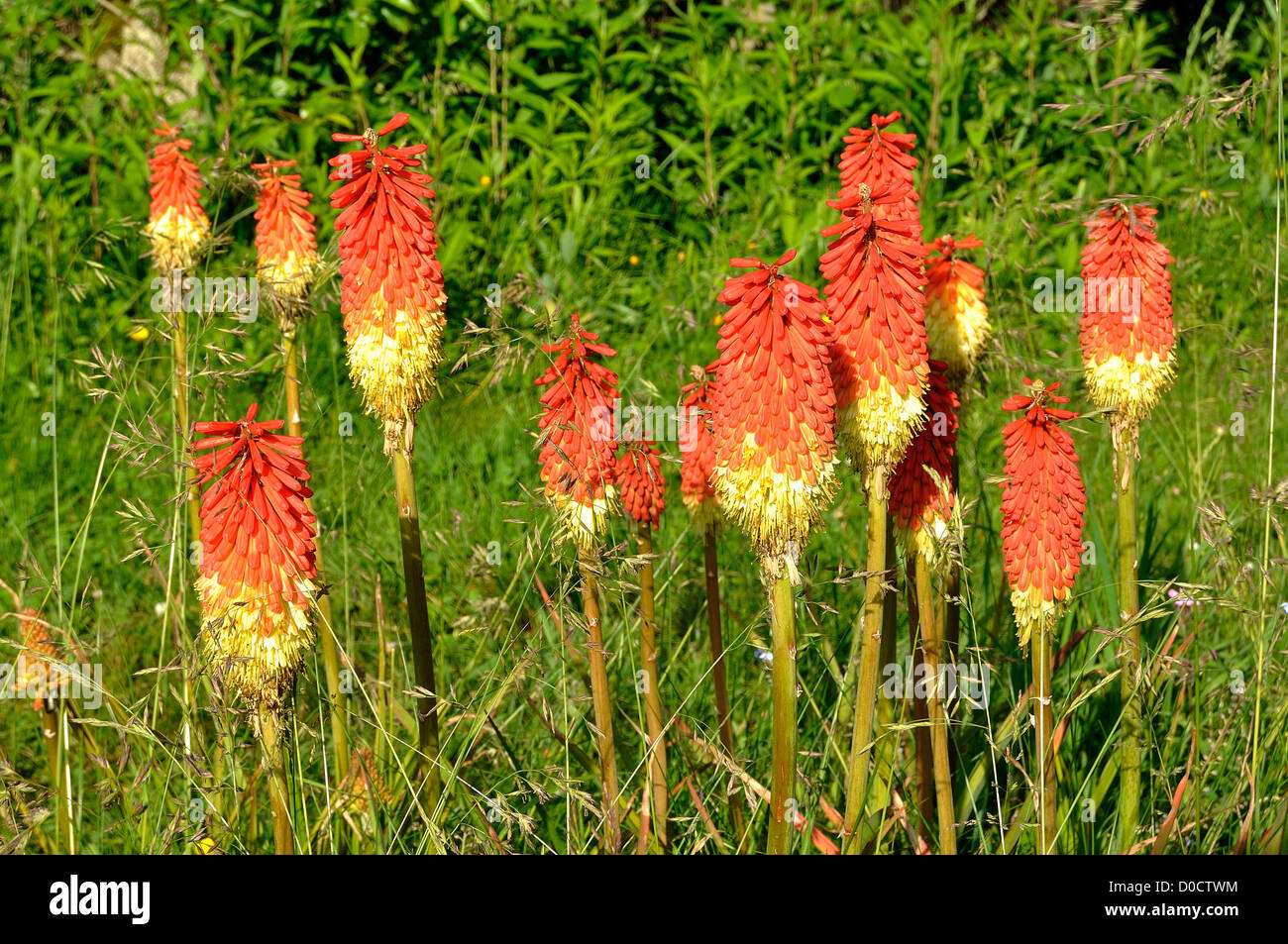 Red hot poker torch lily tritoma best uk online poker sites