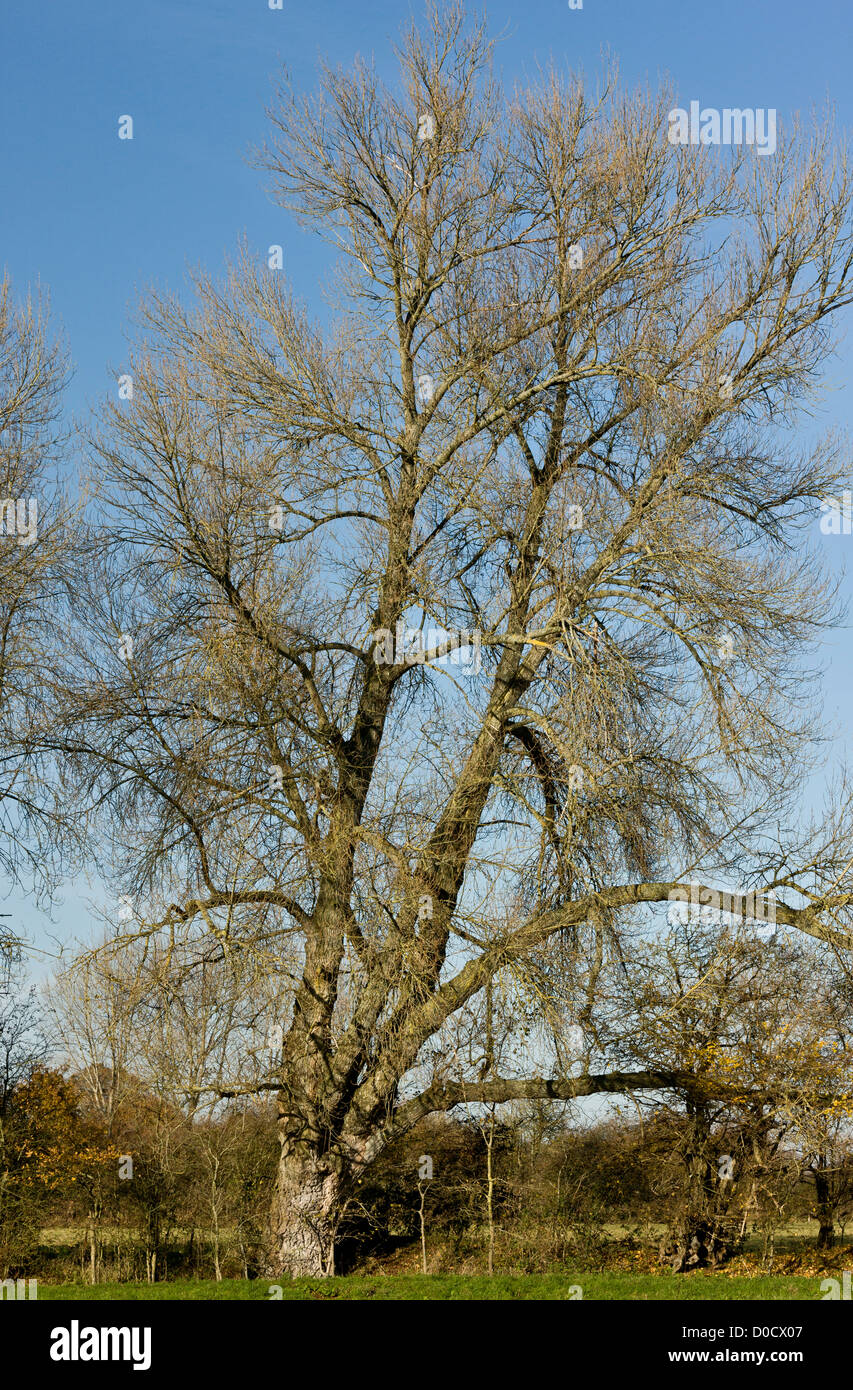 Native Black Poplar, or Black-poplar, Populus nigra ssp.betulifolia in hedgerow in autumn; Stour valley Stock Photo