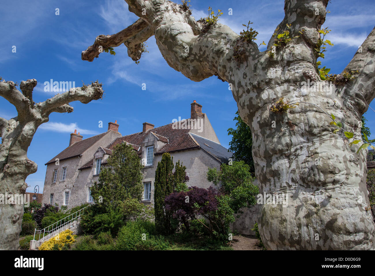HUNDRED-YEAR-OLD SYCAMORES IN THE VILLAGE OF SAINT-BENOIT-SUR-LOIRE LOIRET (45) FRANCE - Stock Image