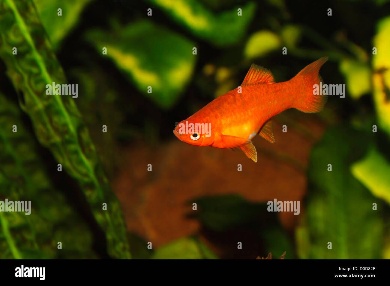 Swordtail (Xiphophorus hellerii) - female in a fish tank Stock Photo