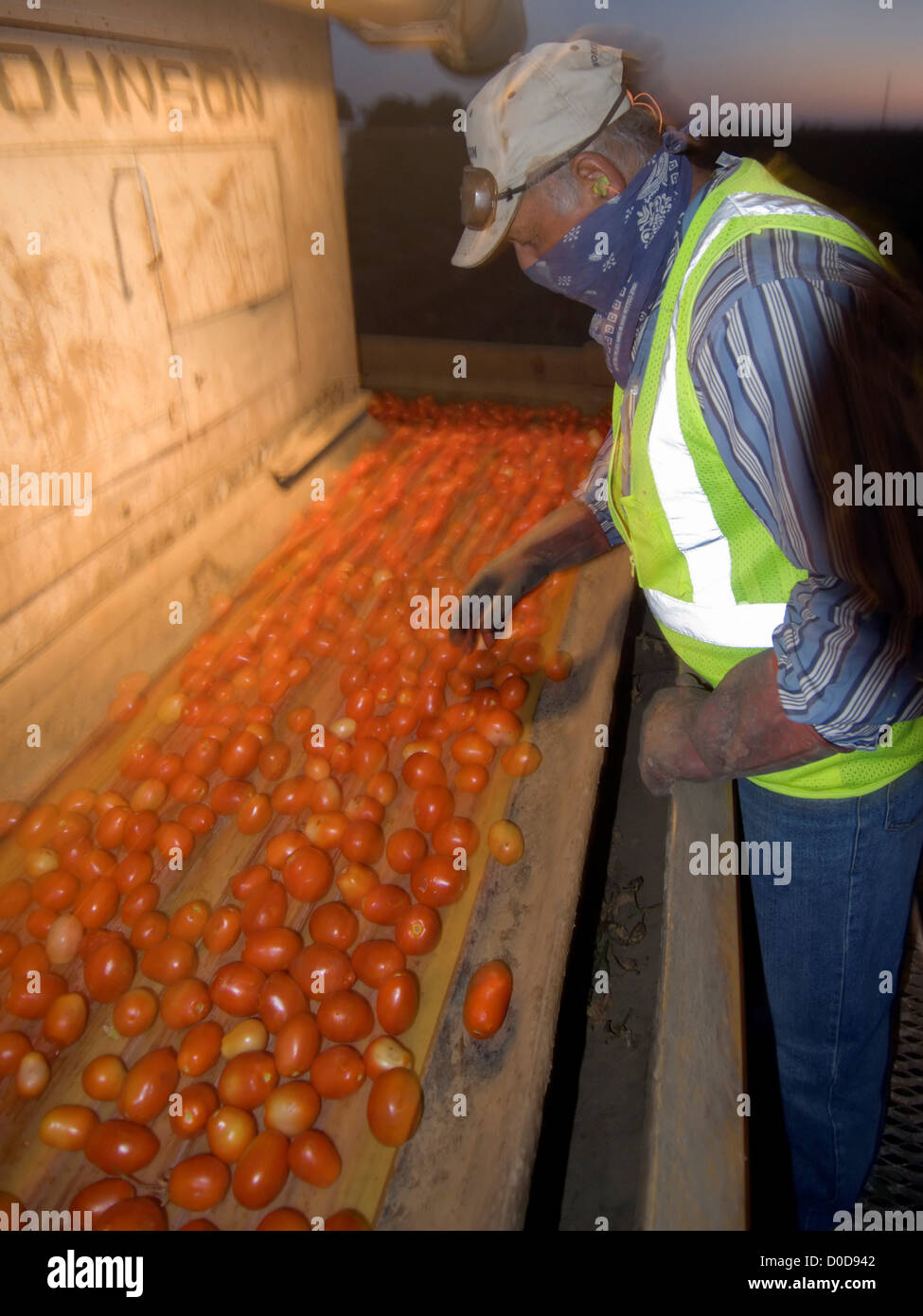 Sorting Undesirable Tomatoes Before Dawn - Stock Image